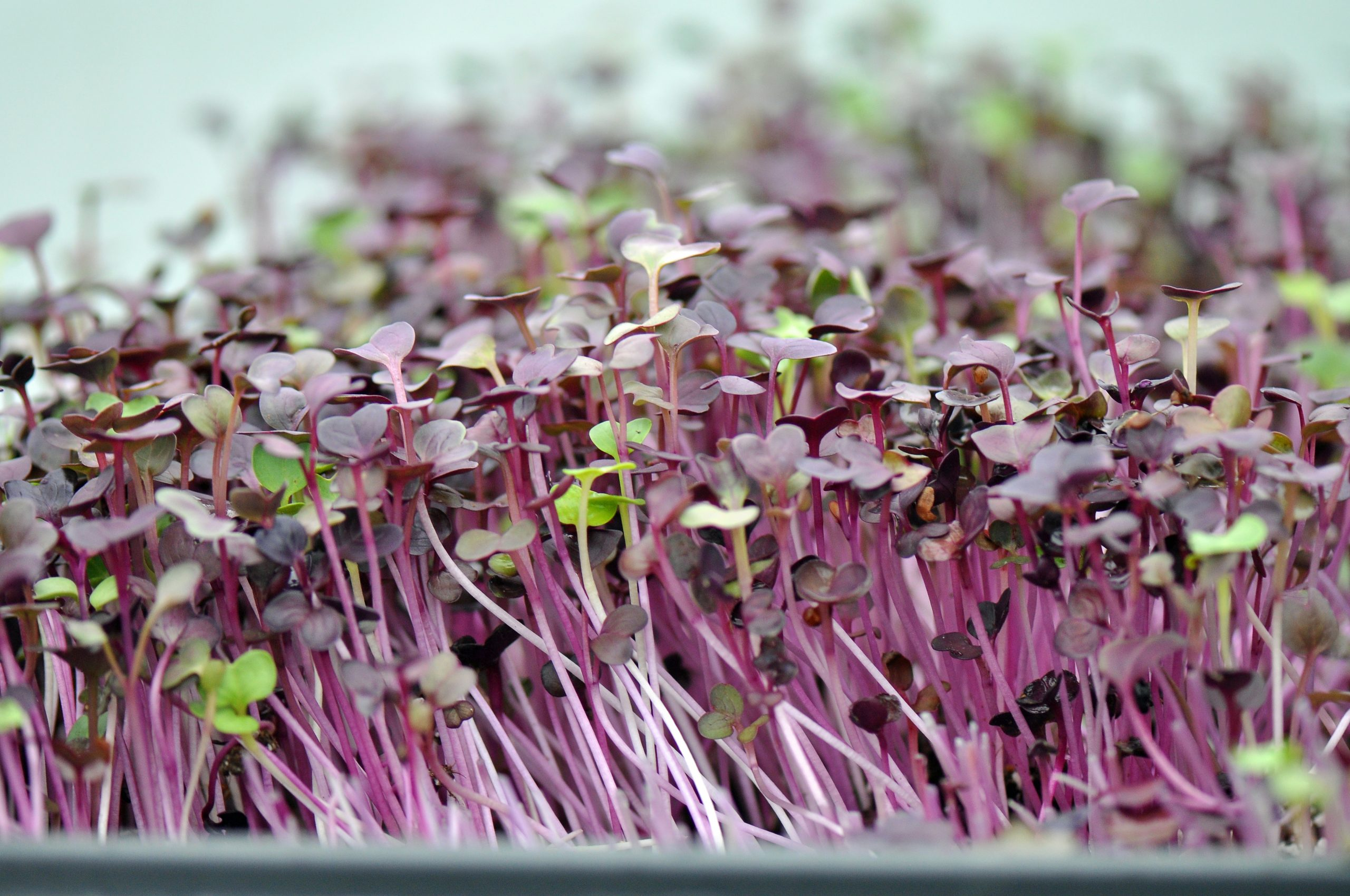 Microgreens and Sprouts are so good for your thyroid and nutrition. They are amazing on everything you eat. Check it out at jenbaucom.com